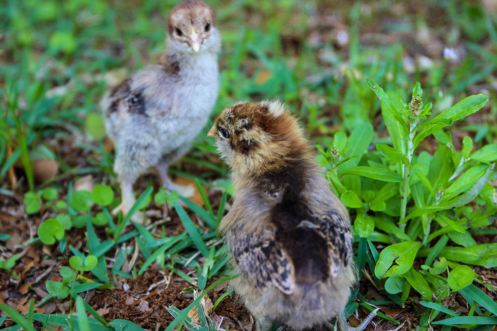picture of two chicks foraging in the grass