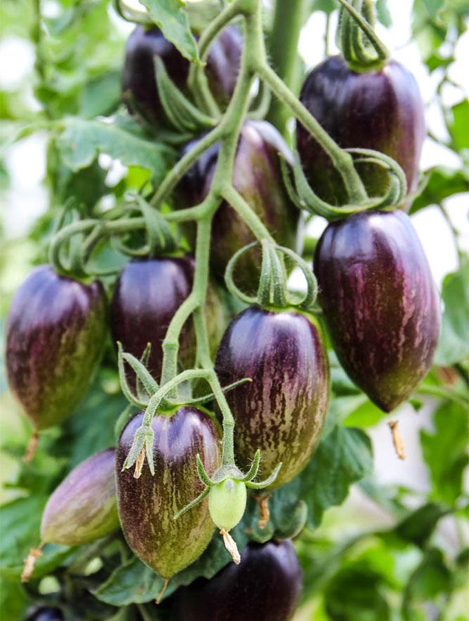 Purple Heirloom tomatoes on a vine