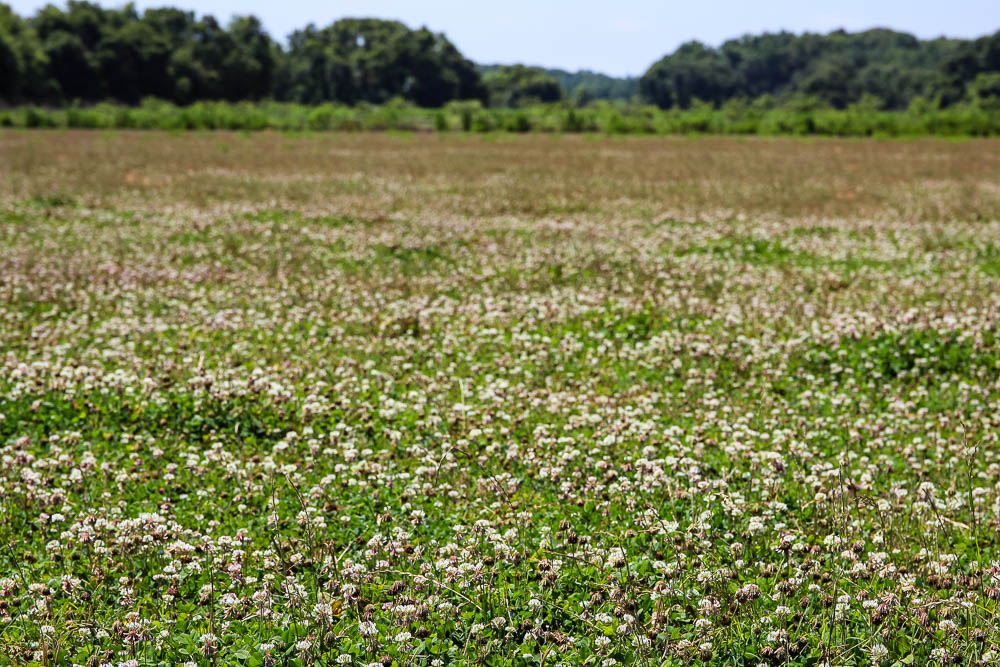 clover fields on nature nine farms in foley alabama