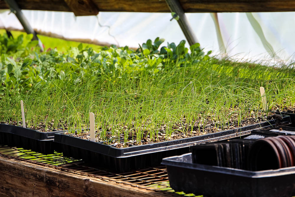 Seedlings ready  to put in the ground on Maeday Farm