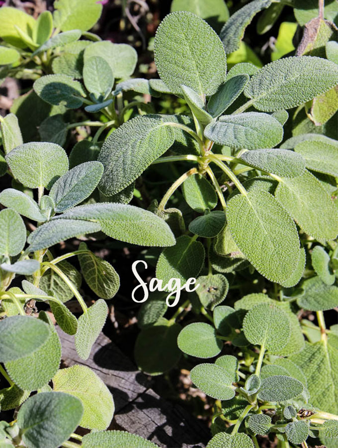 Sage is a tasty herb that is easy to grow and healthy for chickens and humans
