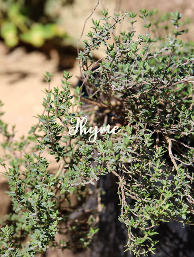 Thyme is known for its antimicrobial properties and is healthy for humans and chickens.